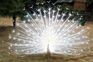 white_peacock